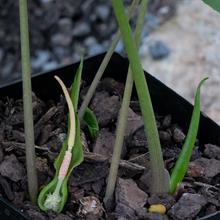 Typhonium viridispathum AGA 1048-04