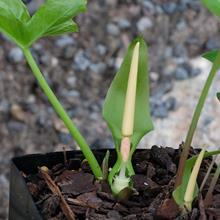 Typhonium viridispathum AGA 1734-01