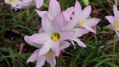 Habranthus robustus 'Dees Lavender'