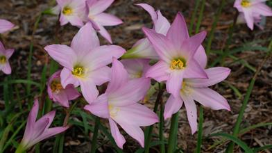 Habranthus robustus 'Pink Splendor'