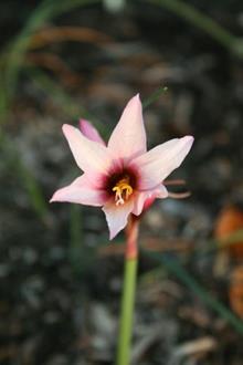 Habranthus pedunculosus