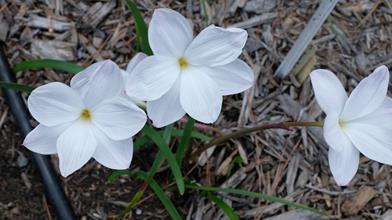 Zephyranthes 'Blushing Bride'