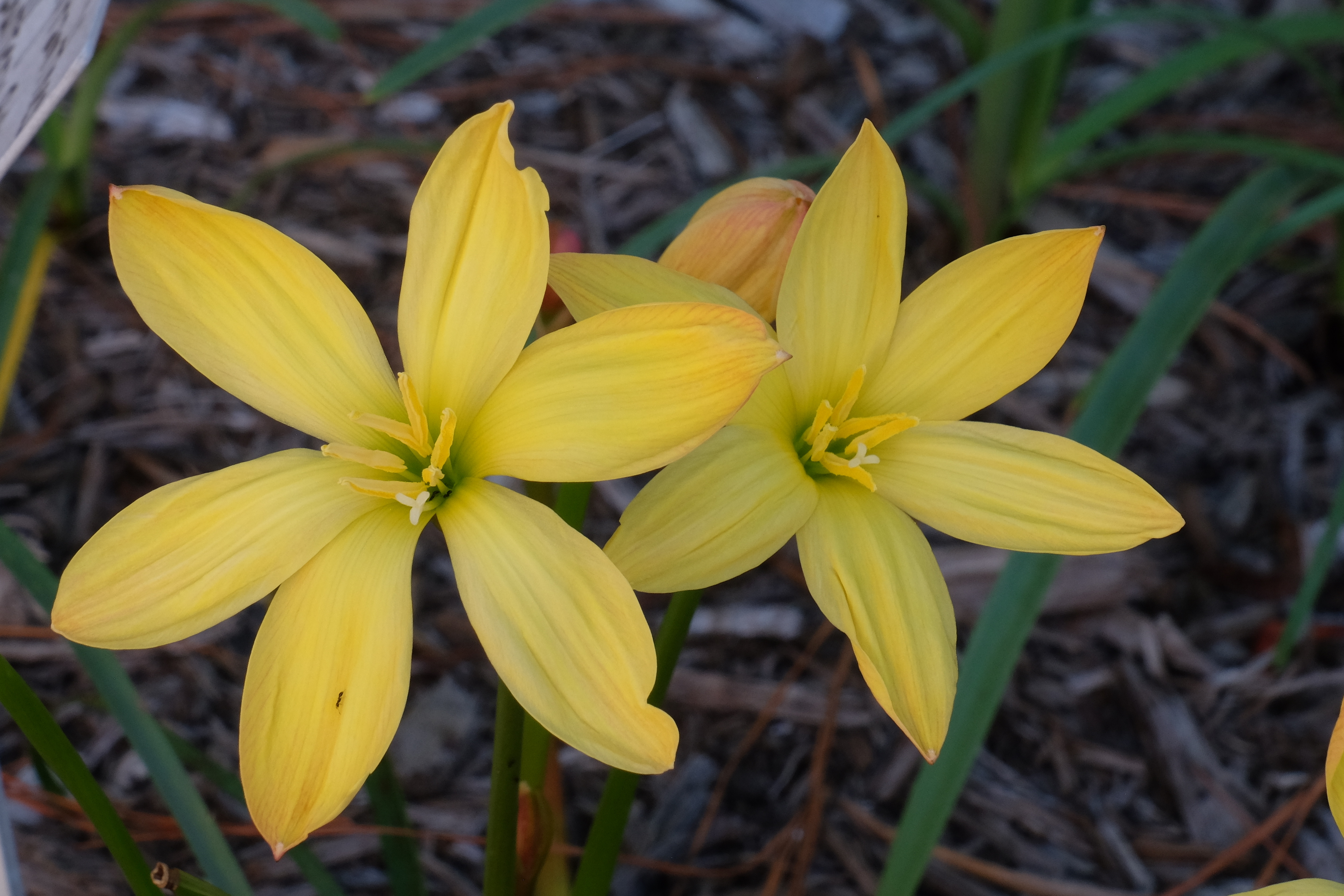 Zephyranthes 'Buttery Billowy Blowout' @ JLBG