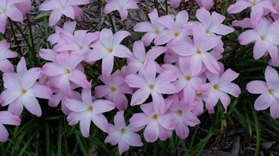 Zephyranthes 'Early and Often'