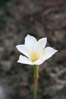 Zephyranthes 'Ivory Star'