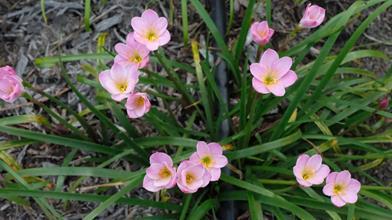 Zephyranthes 'Libra'