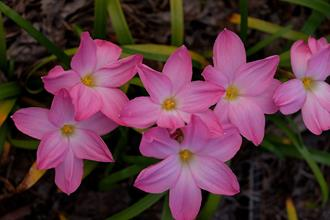 Zephyranthes 'Lucky all Over'