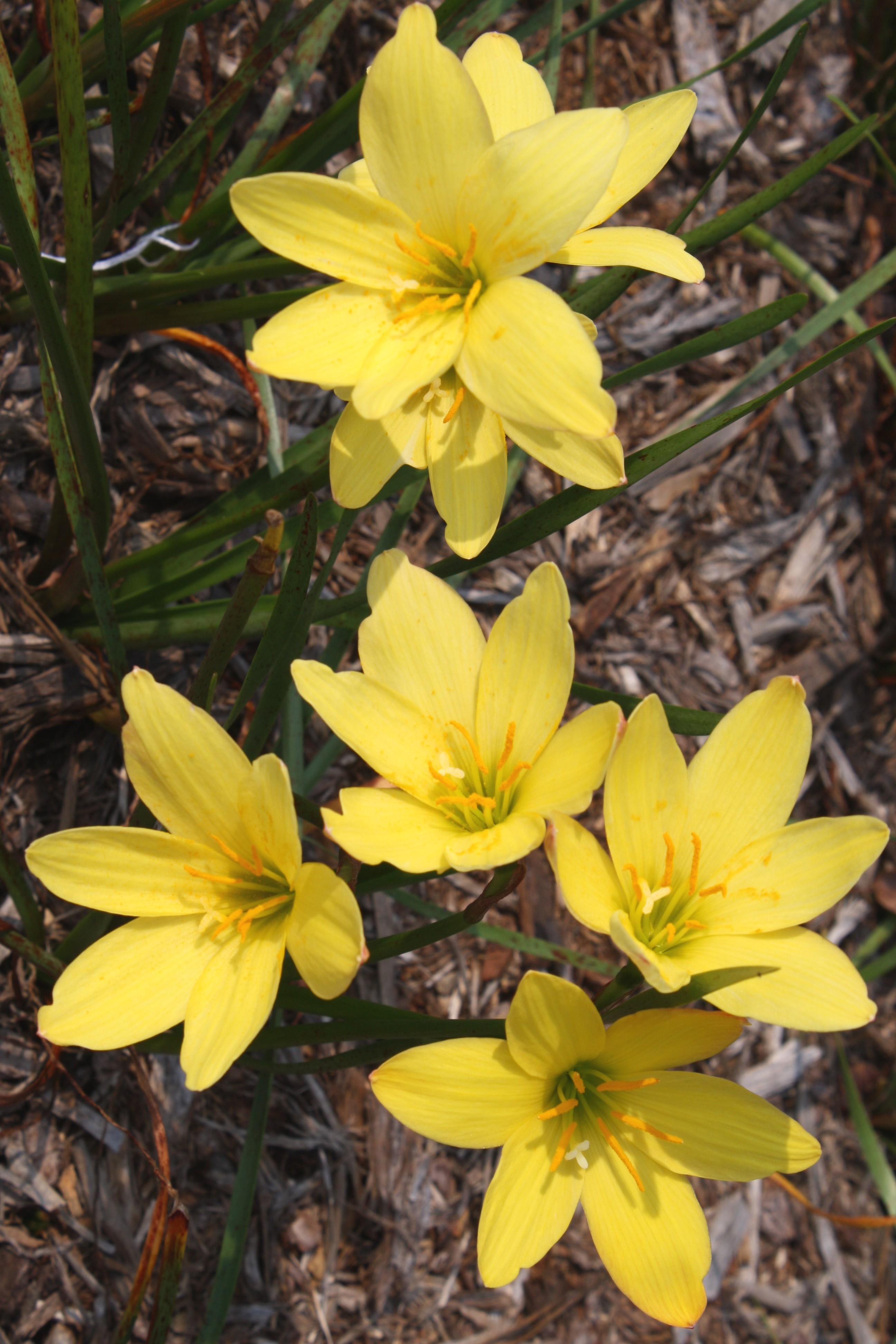 Zephyranthes 'Midas Touch' @ JLBG - a Fadjar Marta hybrid introduced by Plant Delights in 2011 (Fadjar Marta)
