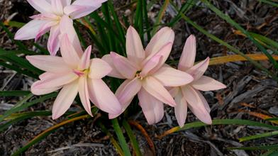 Zephyranthes 'Moulin Rouge'