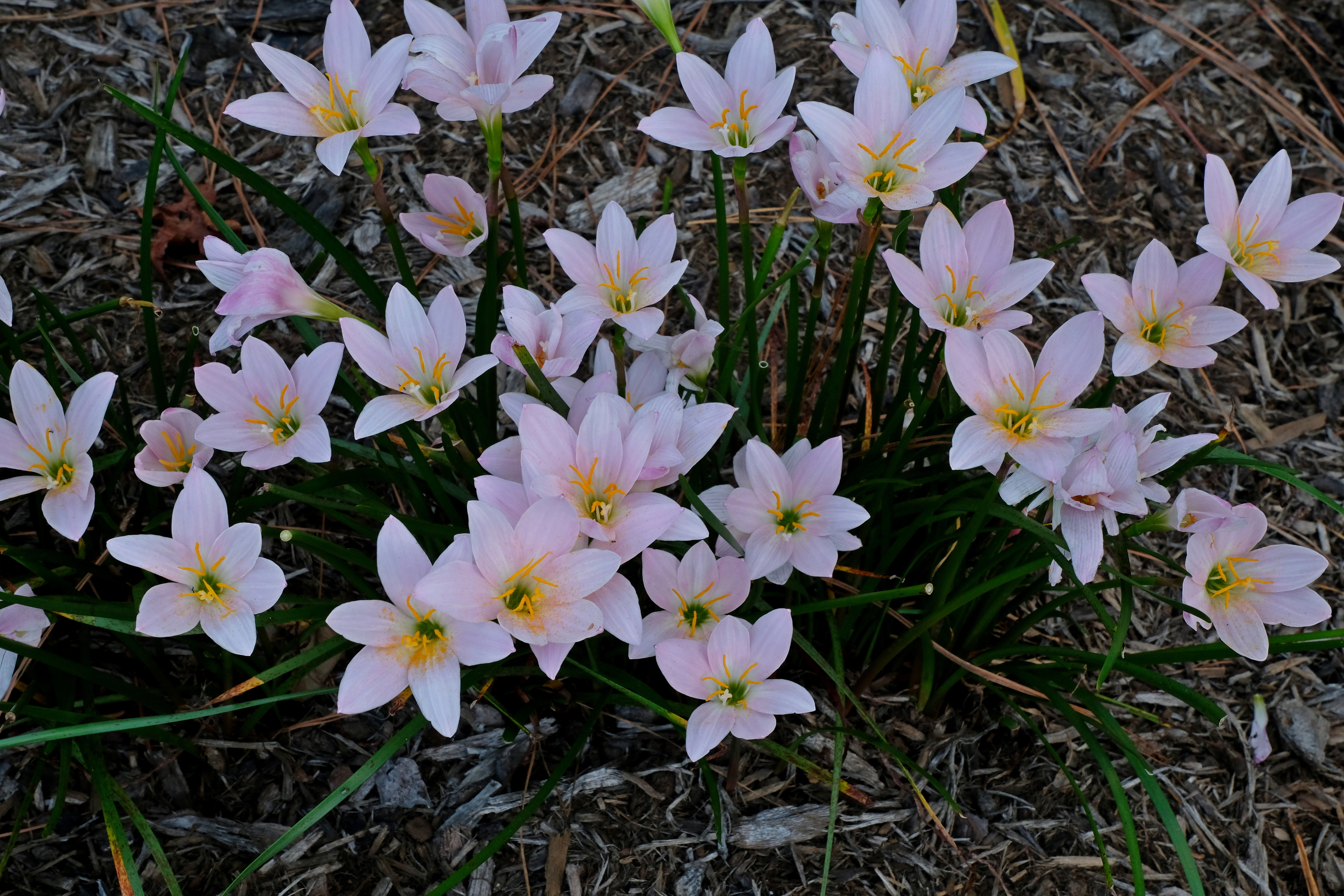 Zephyranthes 'Pink Out' @ JLBG - a previously un-named plant from the late John Fellers as P34III-2