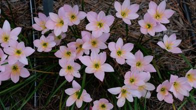 Zephyranthes 'Pink Out'