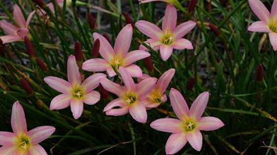 Zephyranthes 'Rose Perfection'