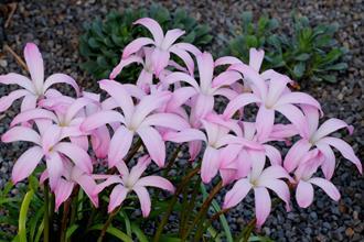 Zephyranthes 'Star Spangled'