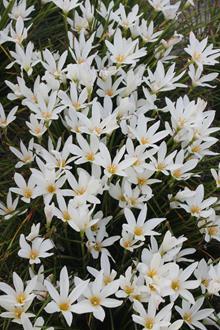 Zephyranthes 'Summer Snow'