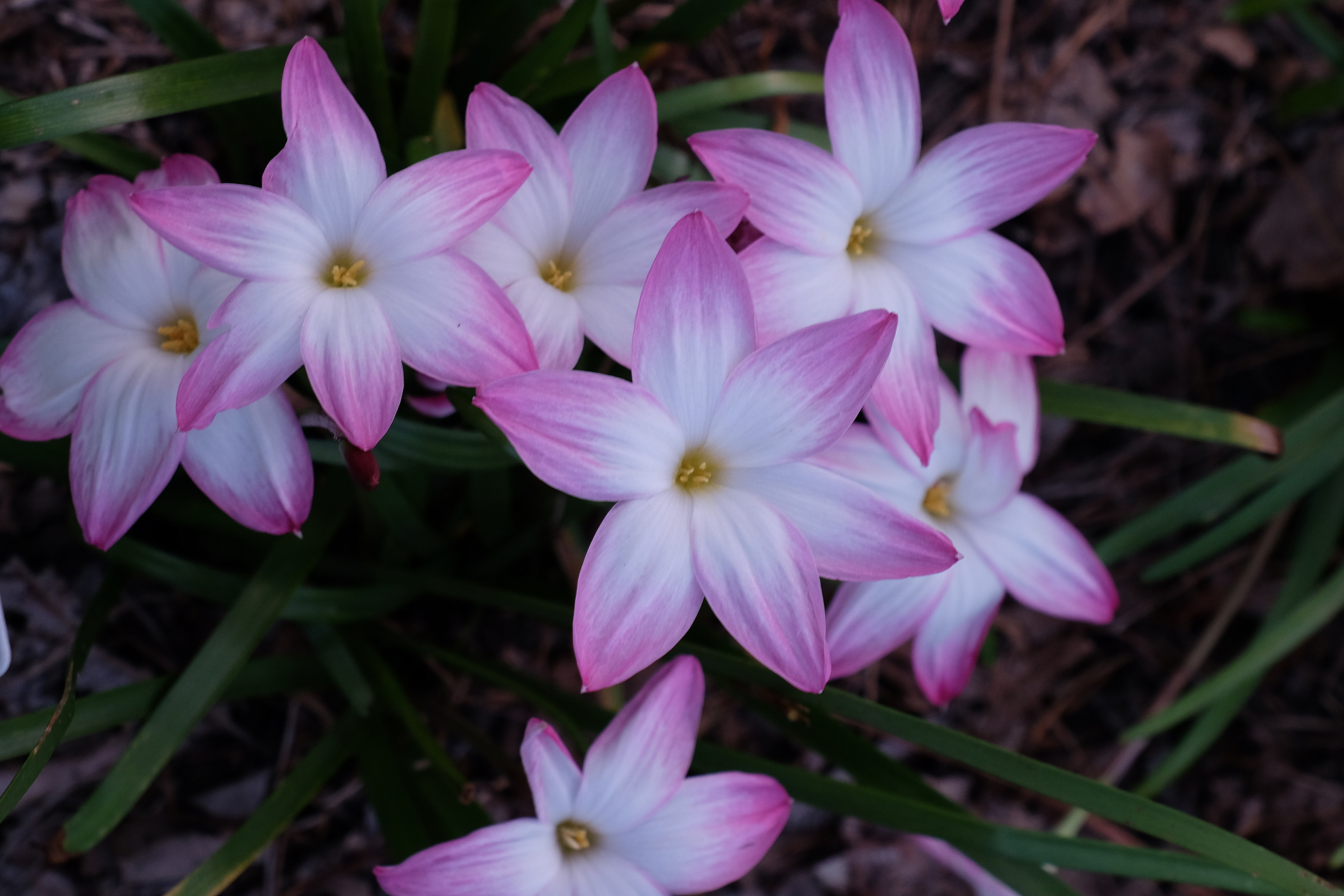 Zephyranthes 'Summers Chill' @ JLBG - a Yucca Do selection from Zephyranthes 'Labuffarosea'