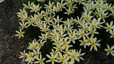 Zephyranthes 'Yellow Fever'