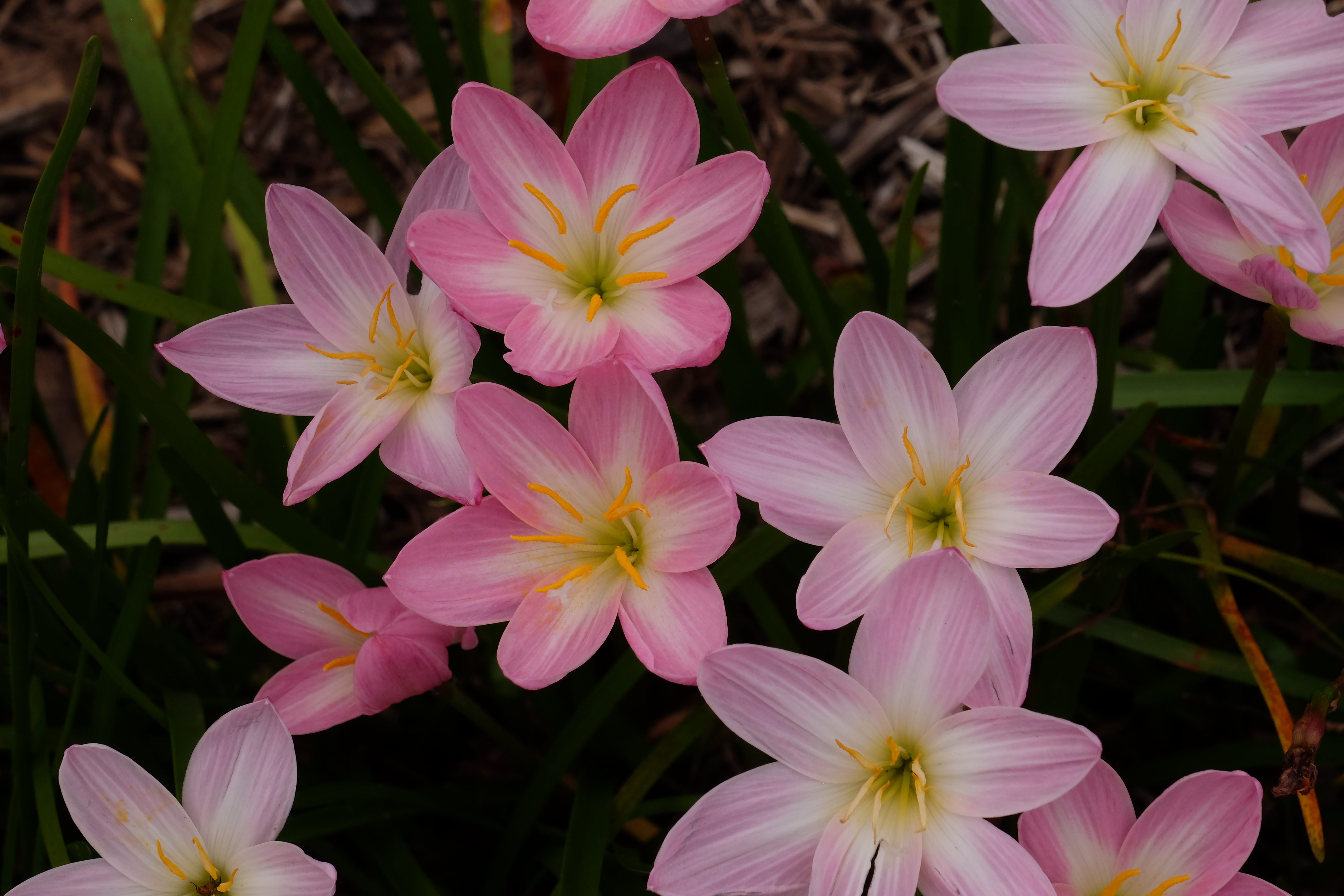 Zephyranthes 'Zodiac Surprise' - a Yucca Do introduction