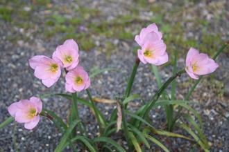 Zephyranthes lindleyana A1M 029