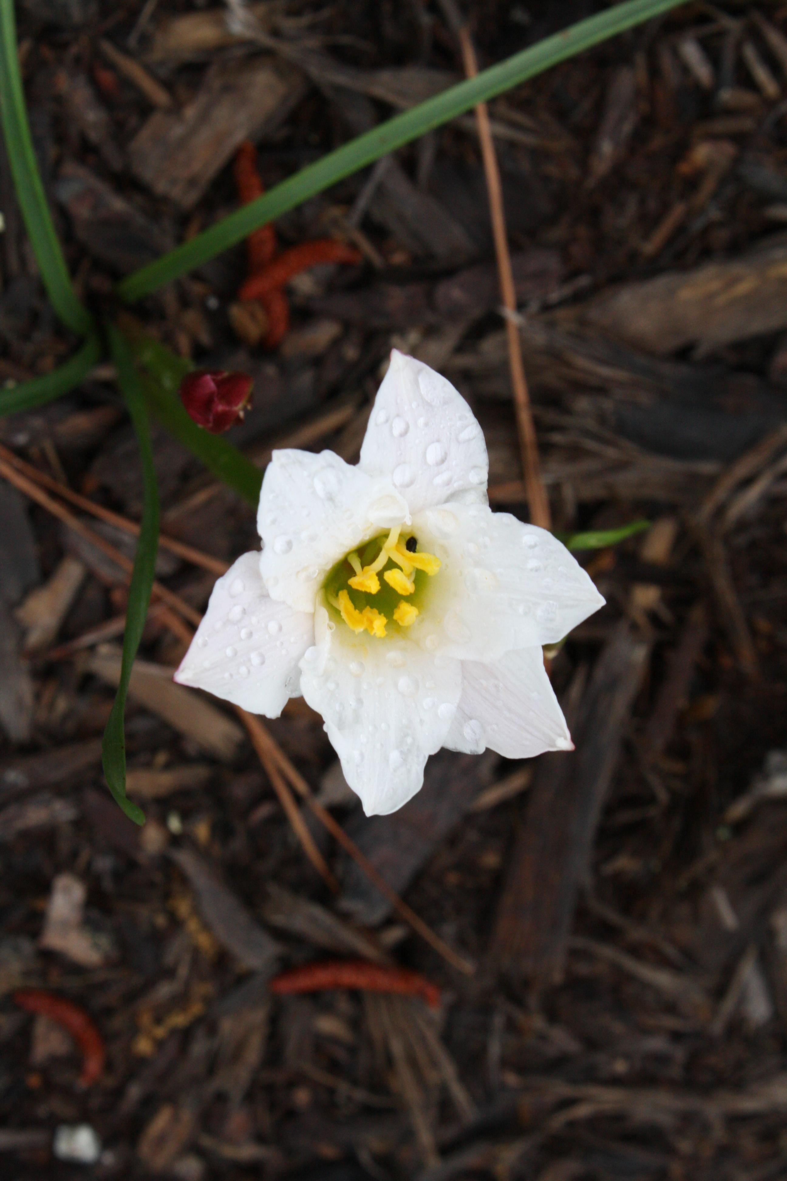 Zephyranthes simpsonii Marion Co. FL @ JLBG