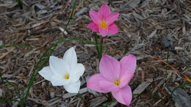 Zephyranthes sp. nov. yuccadoensis (top), Z. drummondii (left), Z. 'La Bufa Rosea' group (right)