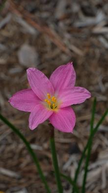 Zephyranthes sp. nov. yuccadoensis