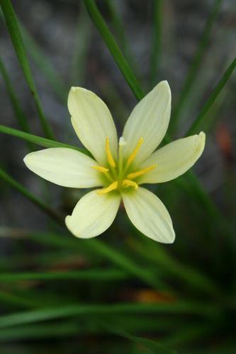 Zephyranthes 'Ajax' @ JLBG - a Zephyranthes candida hybrid