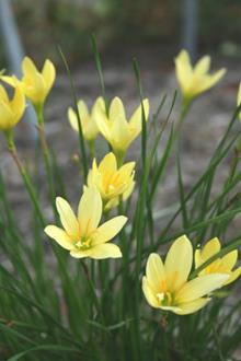 Zephyranthes 'Yolkster'