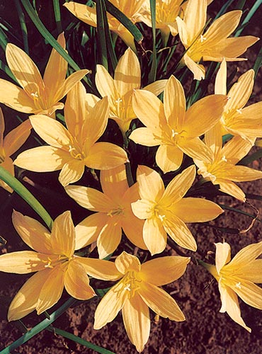 Zephyranthes 'Copper Mine' @ JLBG - a Fadjar Marta hybrid, named and introduced by Plant Delights in 2006 (Avent)
