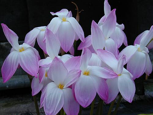 Zephyranthes 'Confection' - a Yucca Do selection of Z. 'Labuffarosea' (Yucca Do)