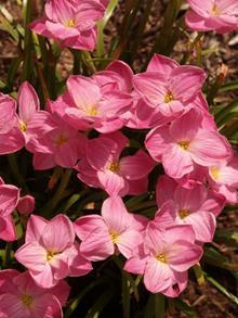 Zephyranthes 'Labuffarosea' M2PBJW112099