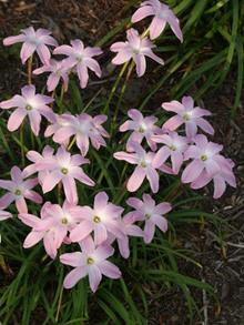 Zephyranthes Labuffarosea