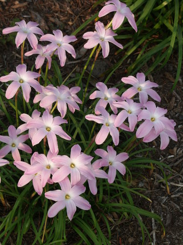 Zephyranthes 'Labuffarosea' @ JLBG - discovered in Mexico by Yucca Do (Avent)
