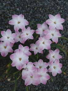 Zephyranthes Lily Pies