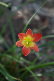 Zephyranthes Paul Niemi