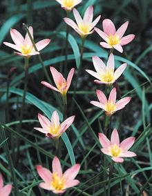 Zephyranthes Sunset Strain