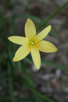 Zephyranthes 'Thad'