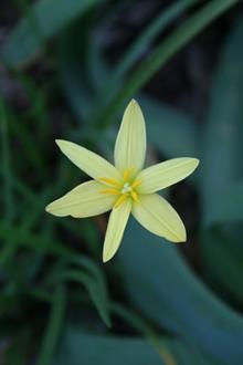 Zephyranthes Thad