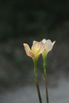 Zephyranthes Twisted Sisters