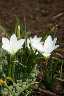 Zephyranthes atamasco hybrid