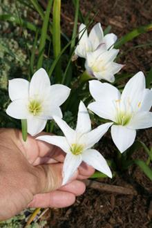 Zephyranthes atamasco hybrid vs species
