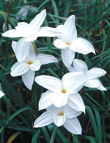 Zephyranthes drummondii 'Fedora'