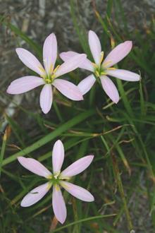 Zephyranthes macrosiphon El Cielo