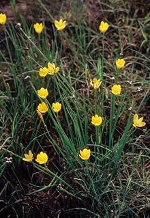 Zephyranthes pulchella